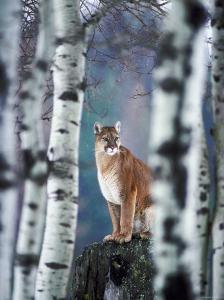 Cougar on Tree Stump in Forest