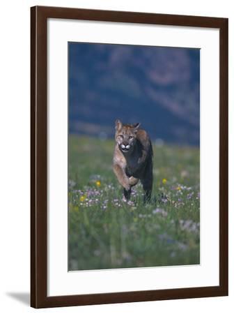 Cougar Running through Meadow-DLILLC-Framed Photographic Print