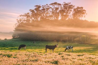 Country Farm and Morning Light, Rural Scene, Mist and Fog, Petaluma-Vincent James-Photographic Print