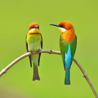 Couple of Bee Eater Bird-Butterfly Hunter-Photographic Print