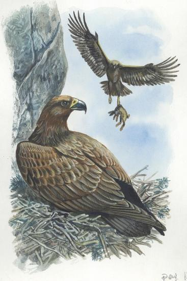 Couple of Golden Eagles Aquila Chrysaetos Female Warms Eggs While Male Brings Her Hare--Giclee Print