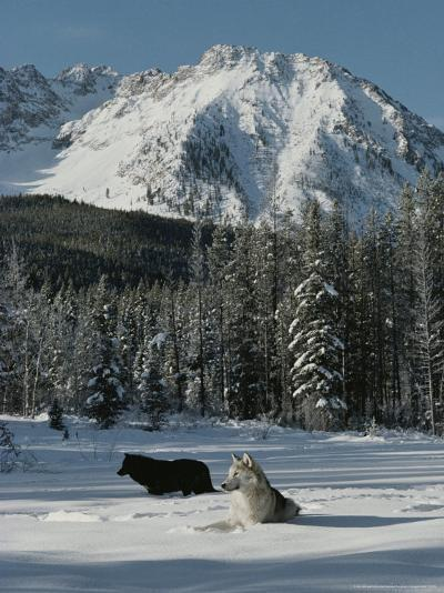 Couple of Gray Wolves, Canis Lupus, Enjoy a Snowy Mountain Meadow-Jim And Jamie Dutcher-Photographic Print