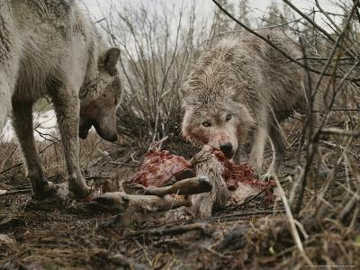 Couple of Gray Wolves, Canis Lupus, Feast on a Mule Deer Carcass-Jim And Jamie Dutcher-Photographic Print