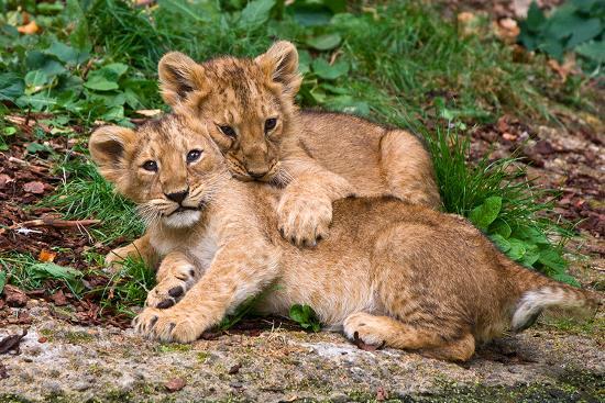 couple-of-lion-cubs