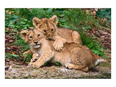 Couple of Lion Cubs--Art Print