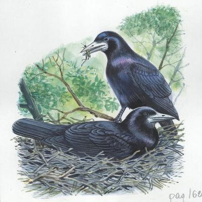 Couple of Rooks Corvus Frugilegus, Male Brings Food to Female While She Is Incubating Eggs--Giclee Print