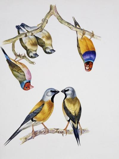 Couples of Gouldian Finch (Chloebia Gouldiae) and Couple of Black-Throated Finch (Poephila Cincta)--Giclee Print