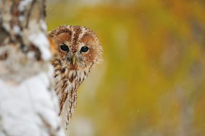 Courious Tawny Owl-Stanislav Duben-Photographic Print