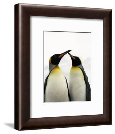 Courting King Penguins Touch Bills-Ralph Lee Hopkins-Framed Photographic Print