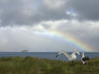 Courtship Behavior, Wandering Albatross, Prion Island, South Georgia-Ralph Lee Hopkins-Photographic Print