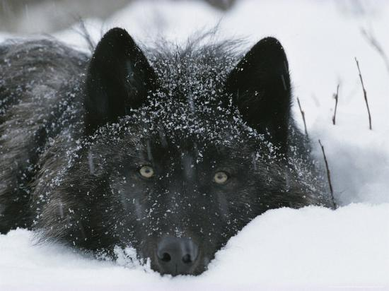 Covered with Snow Flakes, a Gray Wolf, Canis Lupus, Rest in More Snow-Jim And Jamie Dutcher-Photographic Print