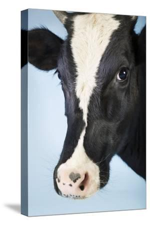 Cow Against Blue Background, Close-Up of Head