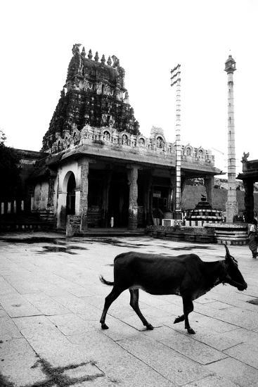 Cow and Poles in Kanchipuram Temple, Tamil Nadu, India, 1979--Photographic Print