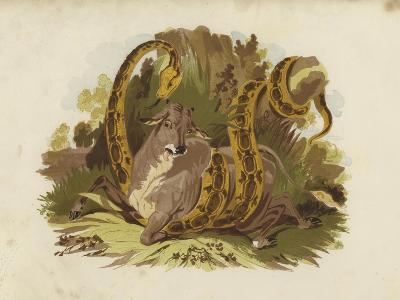 Cow Being Squeezed by Serpent--Giclee Print