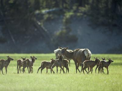 Cow Elk with Calves, Madison River Valley-Raymond Gehman-Photographic Print