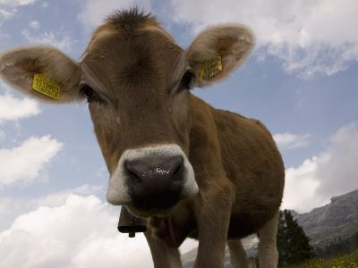 Cow Grazing, Dolomites, South Tyrol, Italy, Europe-Carlo Morucchio-Photographic Print