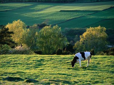 Cow in Field in Sinarpsdalen Valley, Above Bastad, Sweden-Anders Blomqvist-Photographic Print