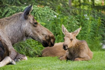 Cow Moose and Calves Laying on Lawn in Anchorage Residents Yard, Sc Alaska Spring-Design Pics Inc-Photographic Print