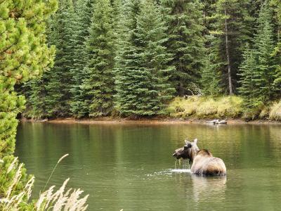 Cow Moose Feeding in Moose Lake, Jasper National Park, UNESCO World Heritage Site, Alberta, Canada-Jochen Schlenker-Photographic Print