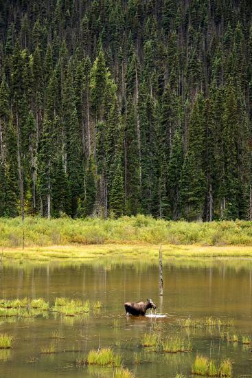 Cow Moose Feeding on Aquatic Plants in a Mountain Marsh-Richard Wright-Photographic Print