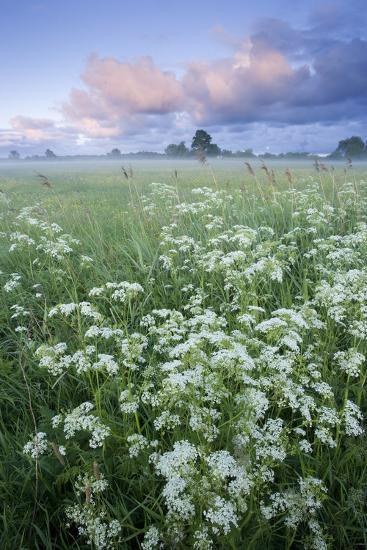 Cow Parsely (Anthriscus Sylvestris) in Meadow at Dawn, Nemunas Regional Reserve, Lithuania, June-Hamblin-Photographic Print