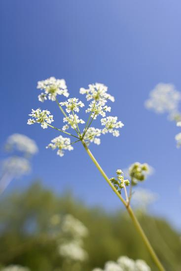 Cow Parsley Flowers--Photographic Print