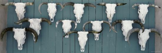 Cow Skulls Hanging on Planks, Taos, New Mexico, USA--Photographic Print