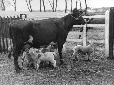 Cow Suckling Lambs--Photographic Print