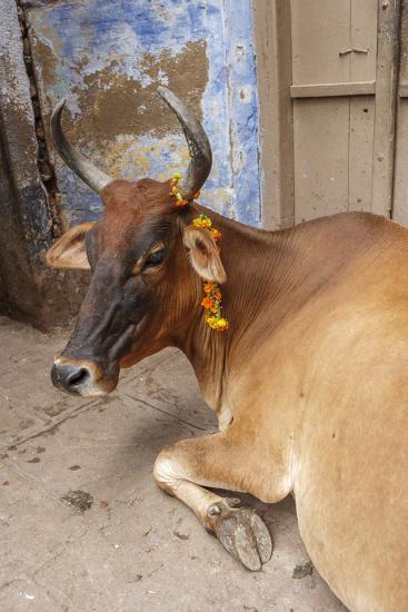 Cow with Flowers, Varanasi, India-Ali Kabas-Photographic Print