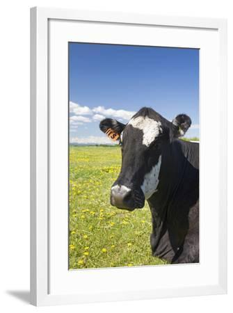 Cow--Framed Photographic Print