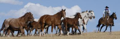 Cowboy Herding Quarter Horse Mares and Foals, Flitner Ranch, Shell, Wyoming, USA-Carol Walker-Photographic Print