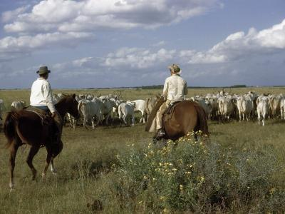 Cowboys Drive a Herd of Brahman Cattle across Texas Range-Howell Walker-Photographic Print