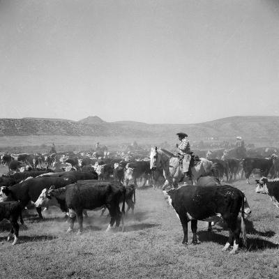Cowboys of the Bannock Shoshone are Shown During the Annual Fall Roundup of Cattle--Photographic Print