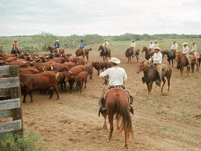Cowboys on the King Ranch Move Santa Gertrudis Cattle from the Roundup Area Into the Working Pens-Ralph Crane-Photographic Print