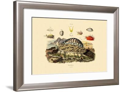 Cowrie Shells, 1833-39--Framed Giclee Print