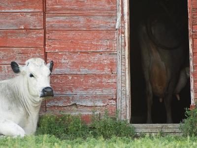 Cows and Red Barn, Southern Saskatchewan, Canada-Sam Chrysanthou-Photographic Print