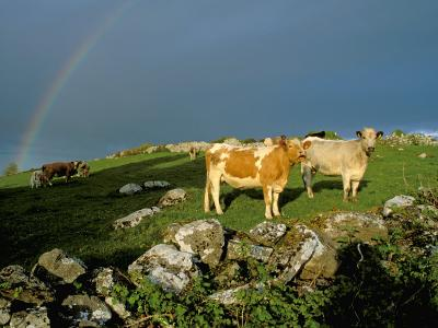 Cows and Rock Wall, Ireland-Marilyn Parver-Photographic Print