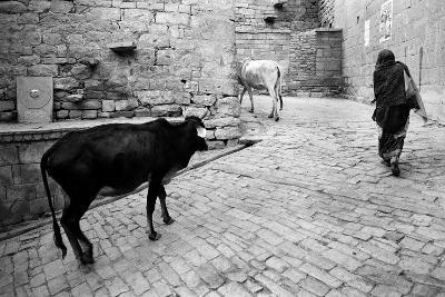 Cows and Woman Walking on Cobbled Street, Jaisalmer, Rajasthan, India, 1984--Photographic Print