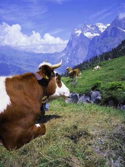 Cows at Alpiglen, Grindelwald, Bernese Oberland, Swiss Alps, Switzerland, Europe-Hans Peter Merten-Photographic Print