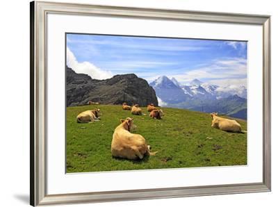 Cows at Faulhorn, Grindelwald, Bernese Oberland, Switzerland, Europe-Hans-Peter Merten-Framed Photographic Print
