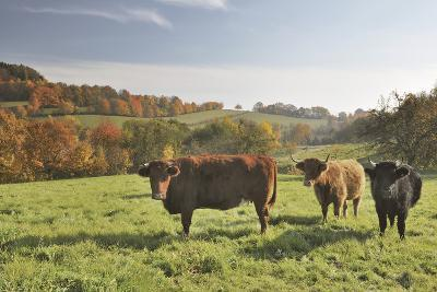 Cows, Autumn, Lindenfels (Town), Odenwald (Low Mountain Range), Hesse, Germany-Raimund Linke-Photographic Print