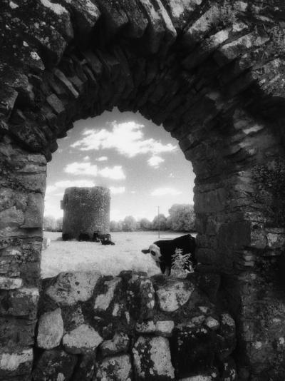 Cows, Ballybeg Abbey, Ireland-Karen Schulman-Photographic Print