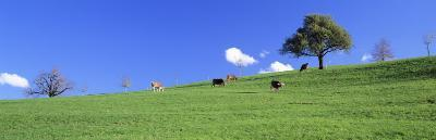 Cows, Canton Zug, Switzerland--Photographic Print
