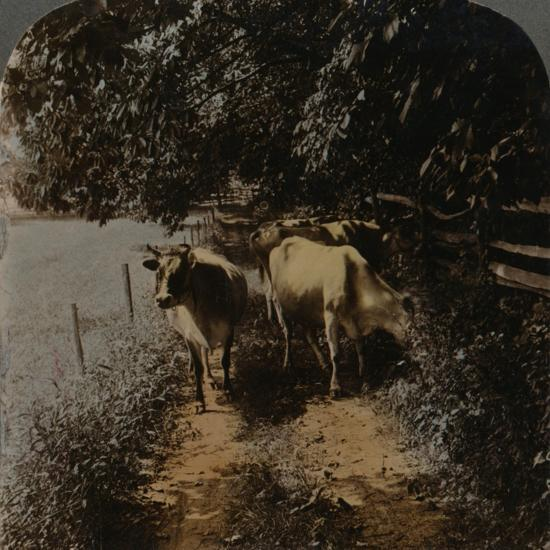 'Cows coming home up the lane at milking-time', c1900-Elmer Underwood-Photographic Print
