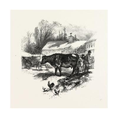 Cows, Farm, Canada, Nineteenth Century--Giclee Print