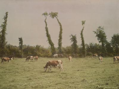 Cows Graze in a Field in Normandy-W^ Robert Moore-Photographic Print
