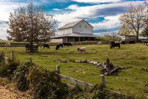 Cows graze in grassy field in front of white barn, rural Virginia
