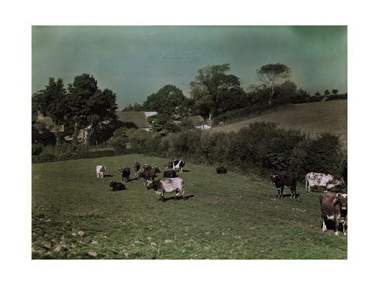 Cows Graze in the Pastures of Rural Farm Homes-W^ Robert Moore-Photographic Print