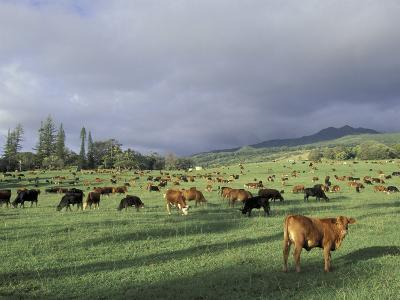 Cows Grazing in Lush Fields, Hana, Maui, Hawaii, USA-John & Lisa Merrill-Photographic Print