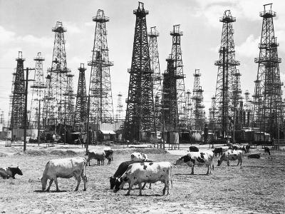 Cows Grazing near Oil Wells--Photographic Print